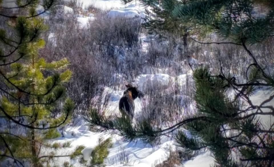 Actual moose on one of my snowshoes in RMNP
